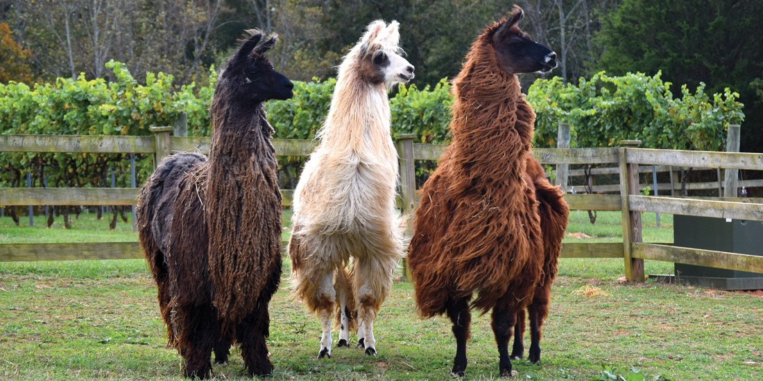 East Bend Farm Combines Passion For Wine And Llamas Business North Carolina
